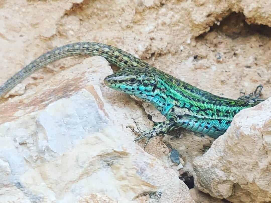 Salamander auf Ibiza