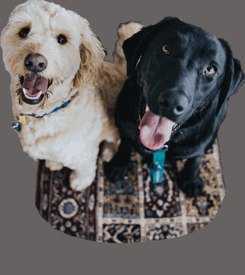 tierkommunikation Hunde auf Teppich